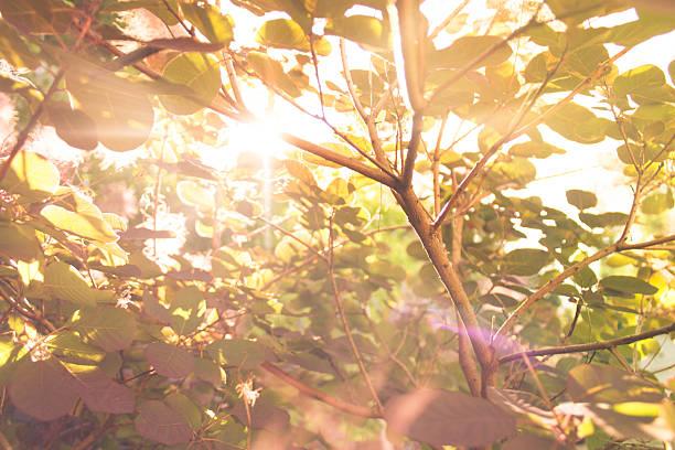 smoketree branch - perückenstrauch stock-fotos und bilder