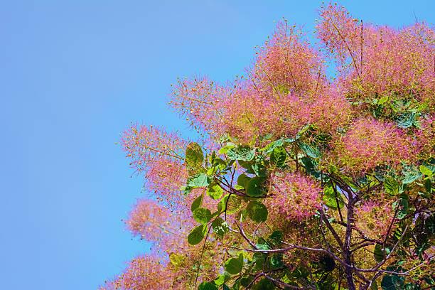 smoketree - perückenstrauch stock-fotos und bilder