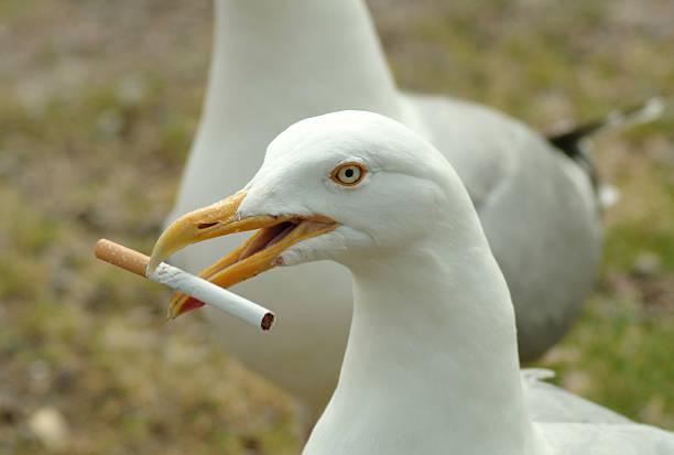 fumo gabbiano - uccello marino foto e immagini stock