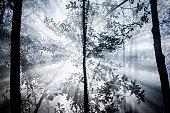 Smoky Forest Canopy
