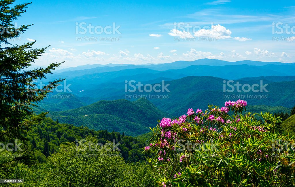 Smoky Mountain Woodland rhododendron stock photo