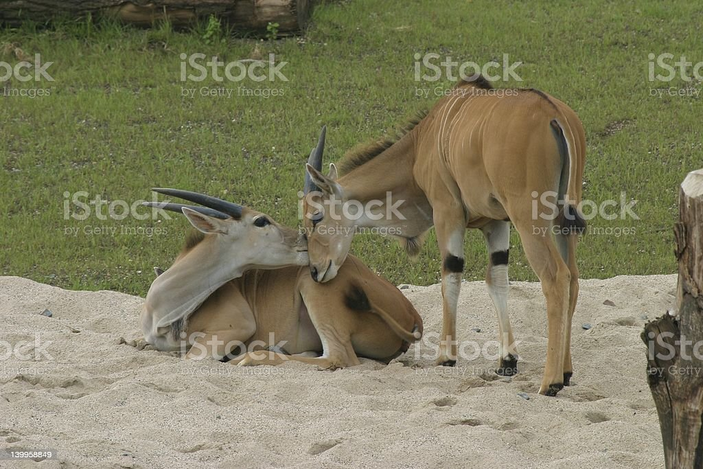 Smooching antelopes royalty-free stock photo