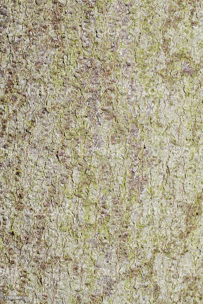 Grey-green sycamore Acer pseudoplatanus bark background royalty-free stock photo