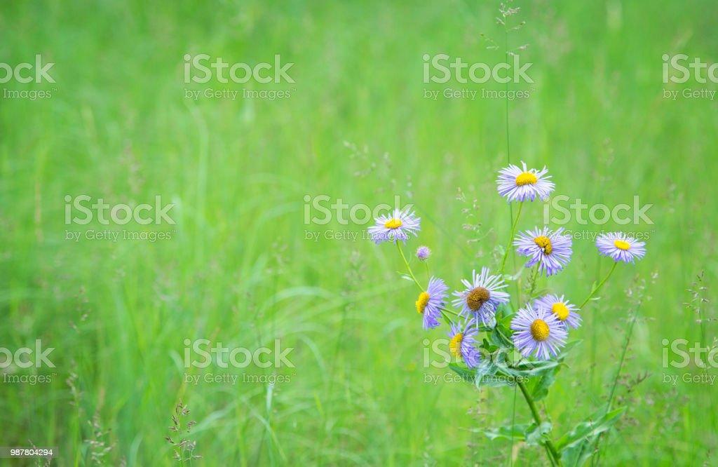 Glatte blaue Aster in Wiese – Foto