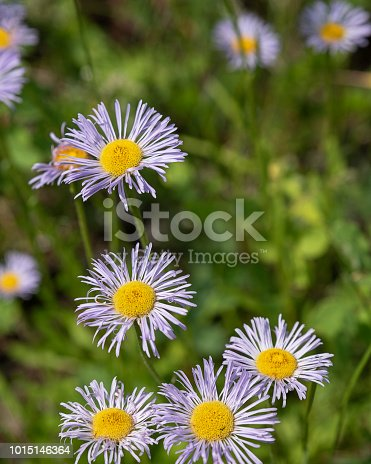 wildflower smooth blue aster, scientific name Symphyotrichum laeve