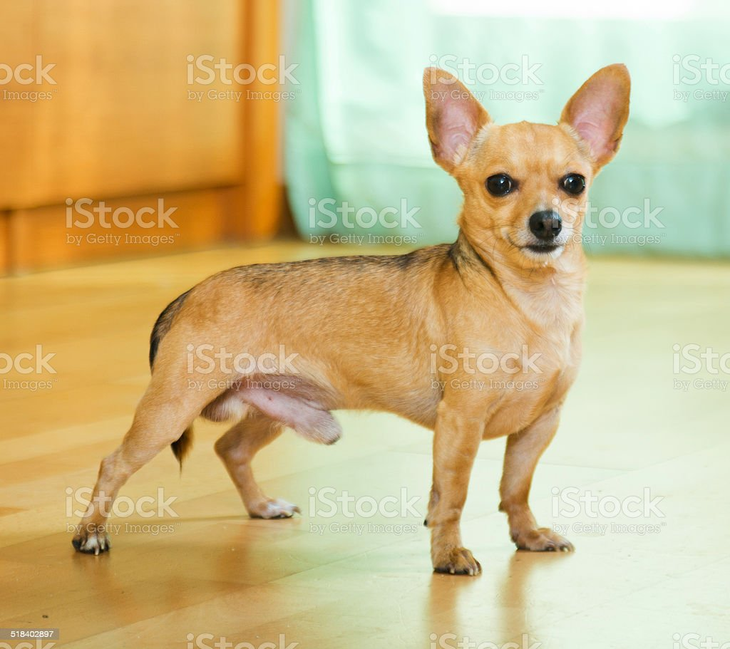 smooth coated Russkiy Toy stock photo