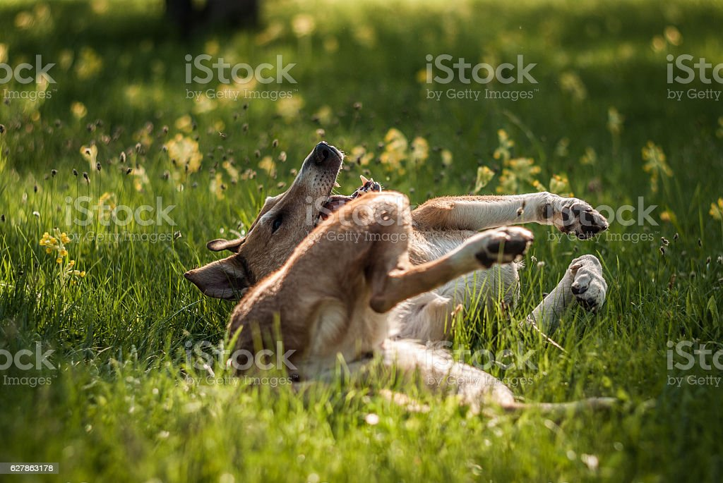 Smooth Collie rolling on the grass. Focus on muzzle stock photo