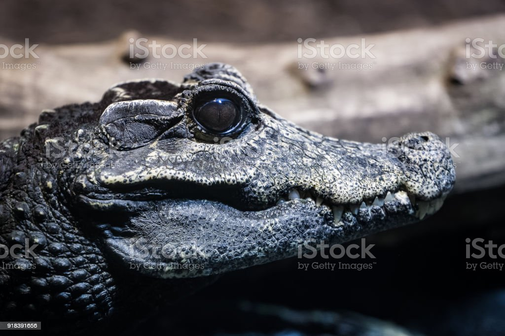 Smooth fronted caiman stock photo