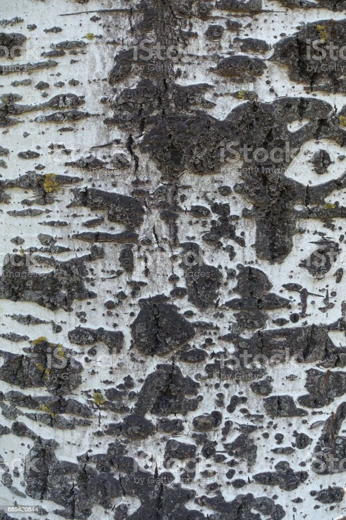 Smooth greyish white bark of Populus alba with black fissured marks stock photo