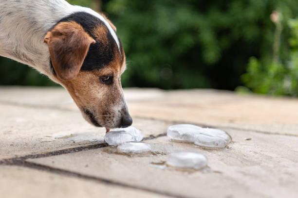 Glätten Sie Jack Russell Terrier 11 Jahre alt. – Foto