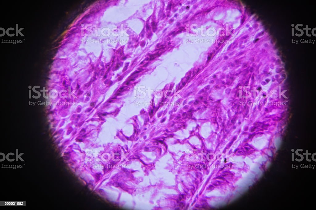 smooth muscle cross section in mircoscope stock photo