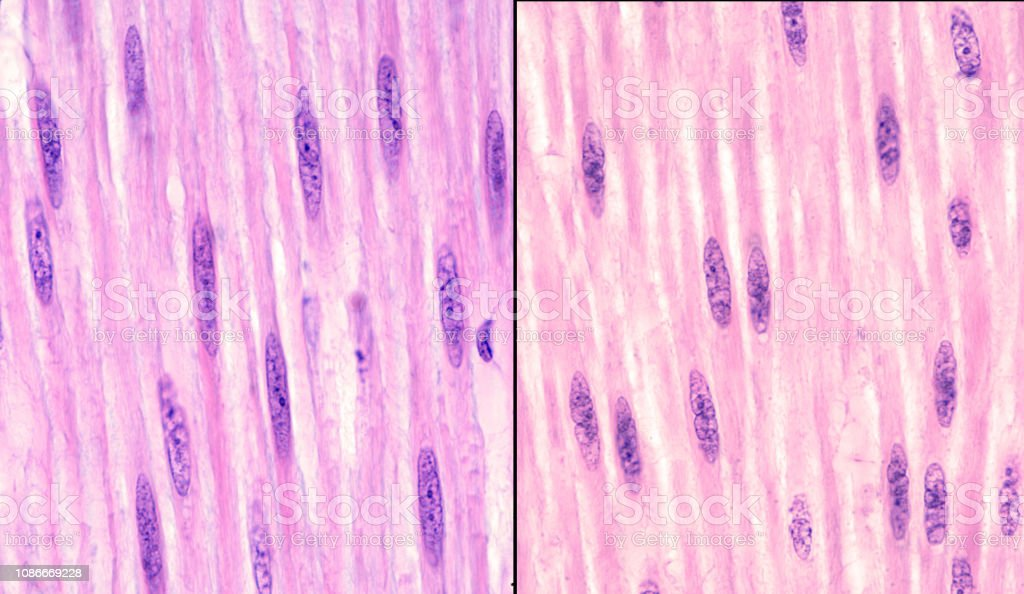 Smooth muscle fiber nuclei stock photo