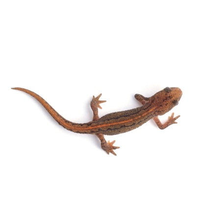 Smooth newt (Lissotriton vulgaris, juvenile female) shot from above and isolated on a white background.