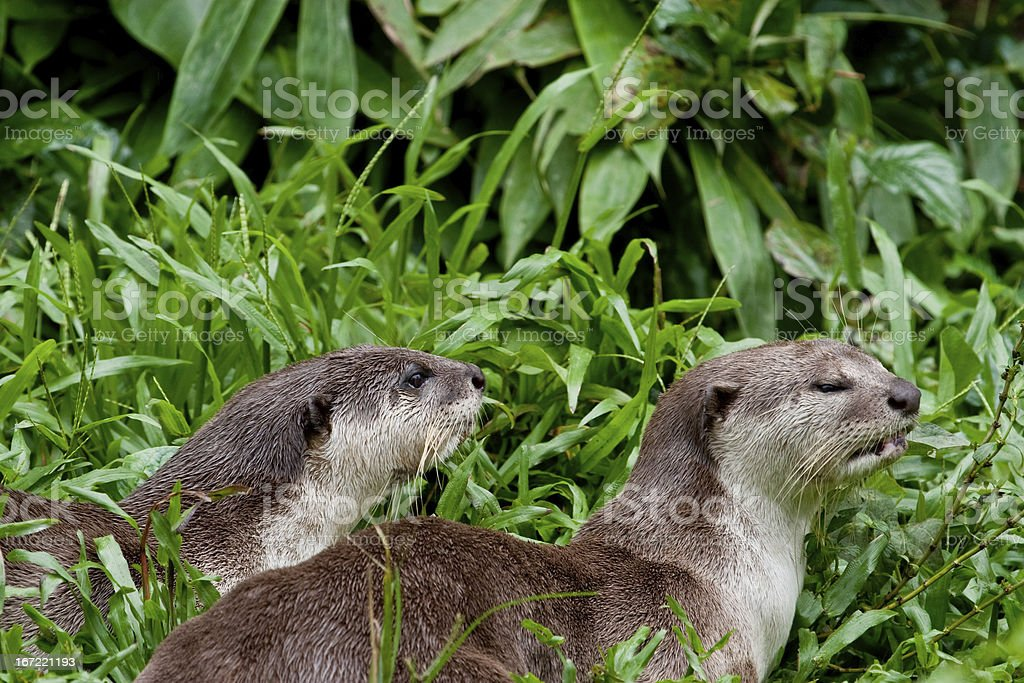 Smooth River Otters royalty-free stock photo