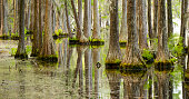 Trees grow right up out of the water in this marsh swamp area of the southern United States
