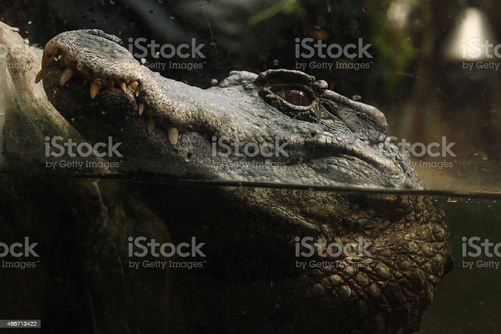 Smooth-fronted caiman (Paleosuchus trigonatus). stock photo