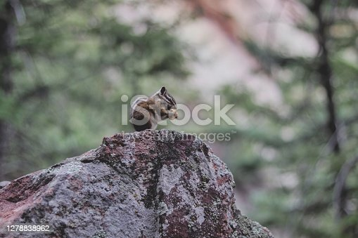 A small chipmunk enjoys a treat at the top of his rock