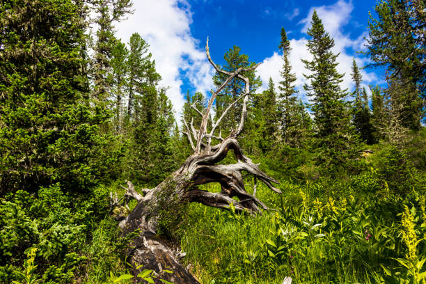 Snag in the Siberian taiga Old crooked dry dead tree in a summer day. Fairy landscape with a weathered snag fantastic shaped in mountain forest. Western Sayan mountains. Ergaki range. Siberia. Russia. taiga stock pictures, royalty-free photos & images