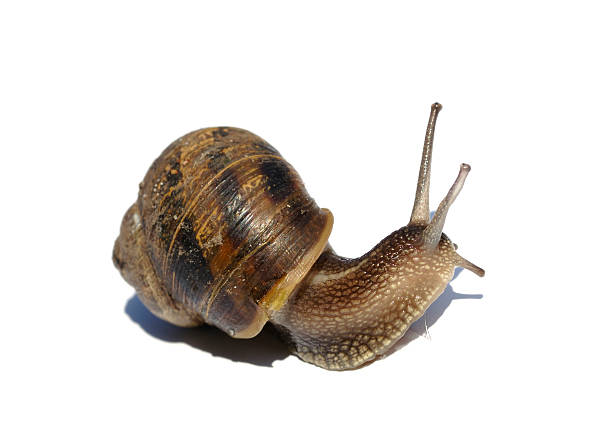 snail against white, concept speed and time issues - dawdle stock pictures, royalty-free photos & images