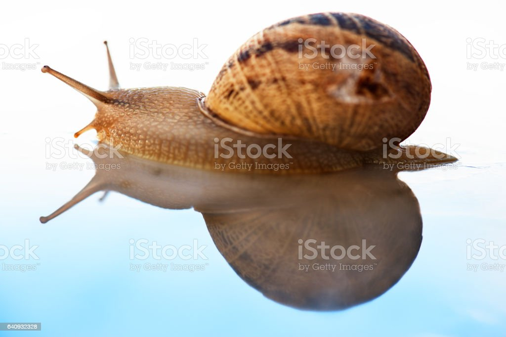 Snail and its reflection in a blue gradient background - foto de acervo