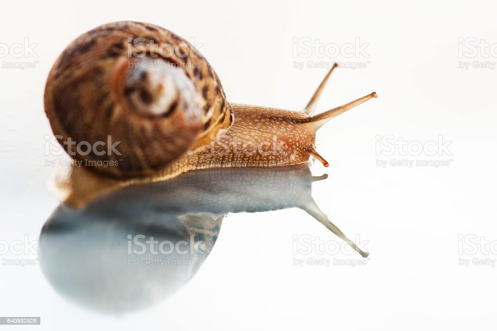 Snail and its reflection in a white background - foto de acervo