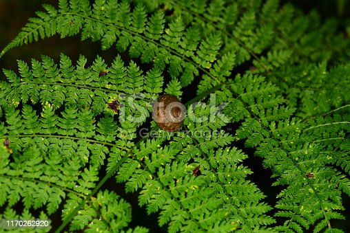 Macro shot of Interrupted Fern with single snail on midrib. Photo taken on the trail to Grotto Falls in the Great Smoky Mountains National Park. Nikon D750 with Nikon 105mm macro lens