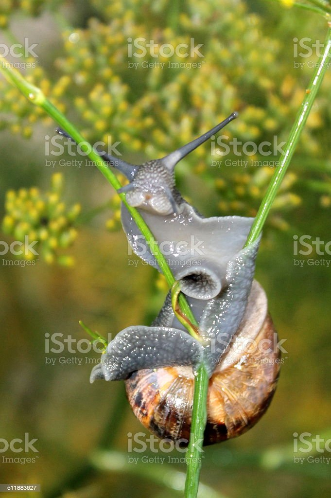 Snail climbing up fennel plant, macro image stock photo
