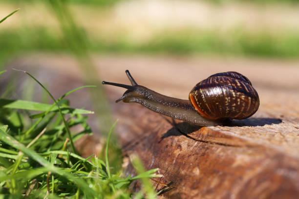snail closeup - ślimak gastropoda zdjęcia i obrazy z banku zdjęć