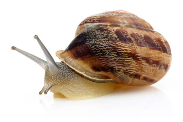 snail crawling isolated on white - ślimak gastropoda zdjęcia i obrazy z banku zdjęć
