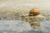istock Snail crawling on concrete on the edge of water after rain. Snail reflection on water 1034333674