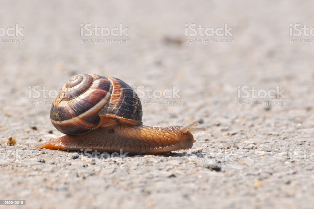 Snail crawling on the asphalt road. royalty-free stock photo