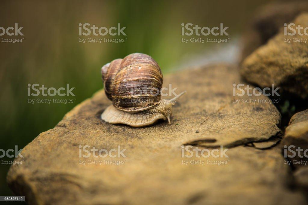 Snail crawling slow on rock Lizenzfreies stock-foto
