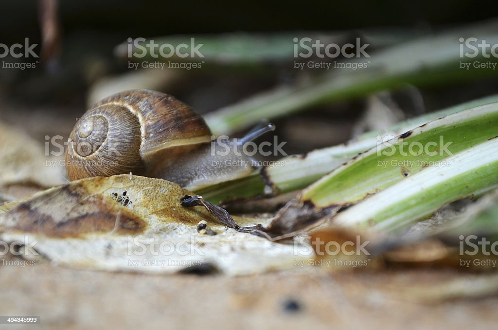 Snail crawling through the leaves stock photo