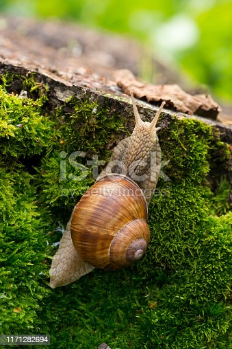 A snail creeps on a stump covered with moss in the forest.
