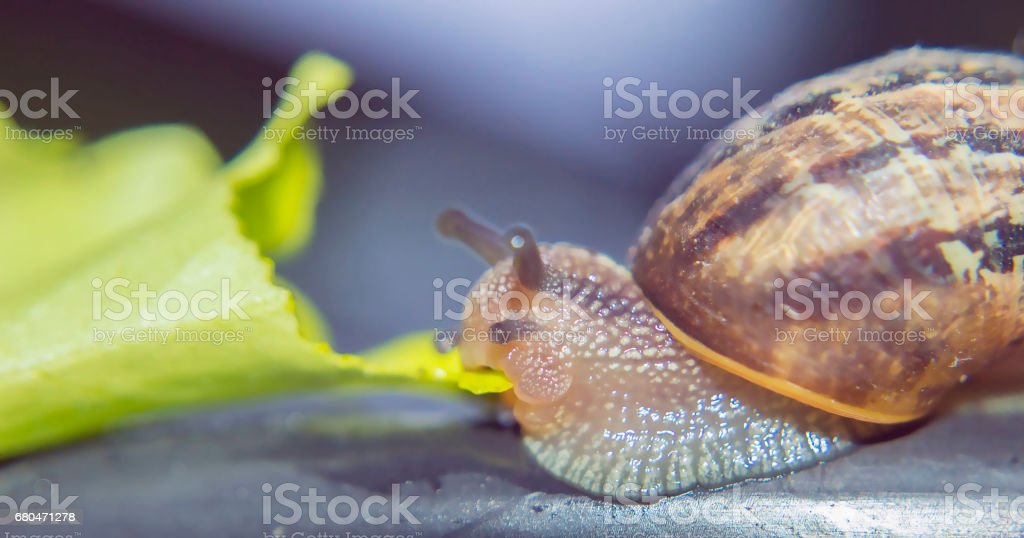 Snail eating a leaf of lettuce stock photo