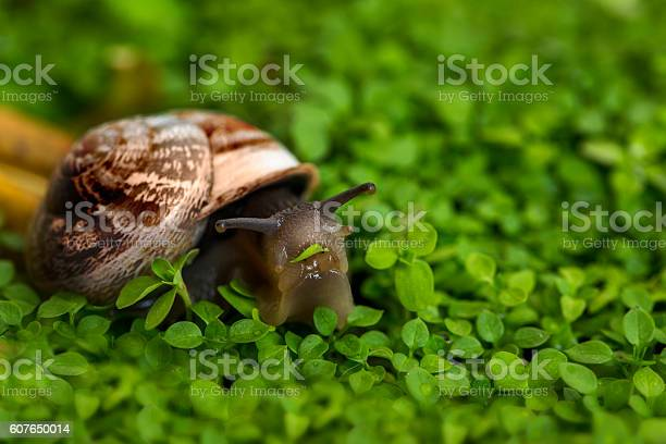 Snail eating grass picture id607650014?b=1&k=6&m=607650014&s=612x612&h=nl0favcpziqjpbmirzyvmx3ksk7lcdiexm6kwhbiczs=