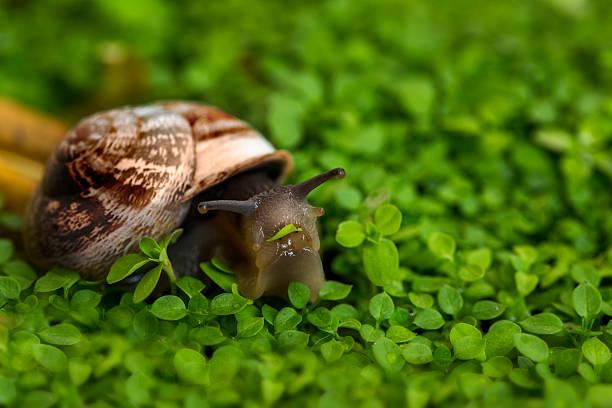 snail eating grass - ślimak gastropoda zdjęcia i obrazy z banku zdjęć