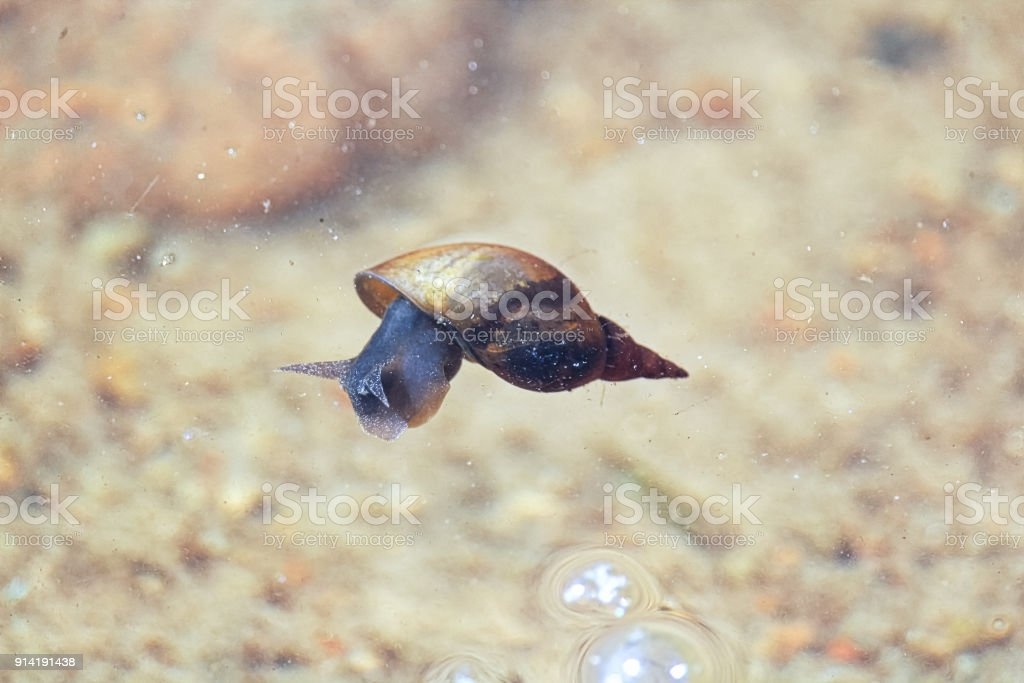 A snail floating on the surface of the water stock photo