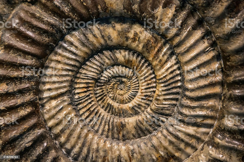 Snail fossil stock photo