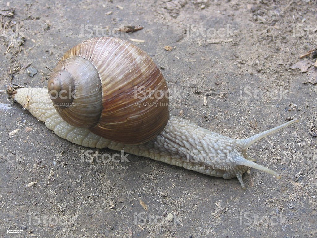 Snail In Hurry royalty-free stock photo