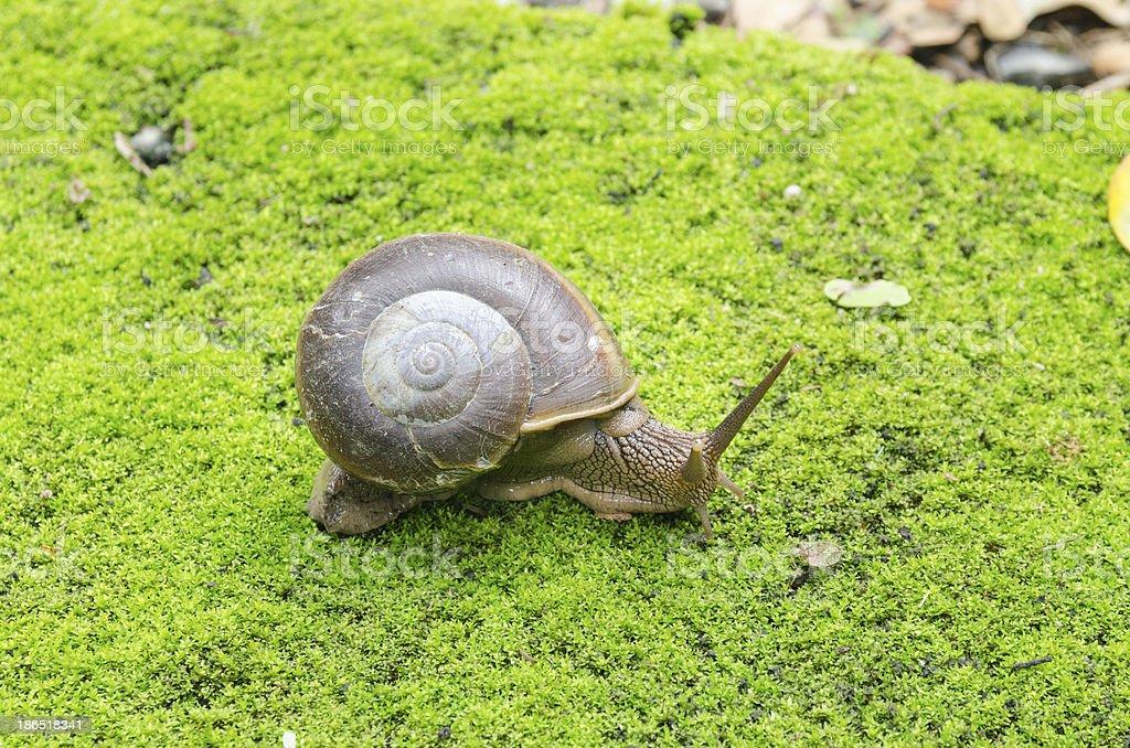 Snail in moss field royalty-free stock photo