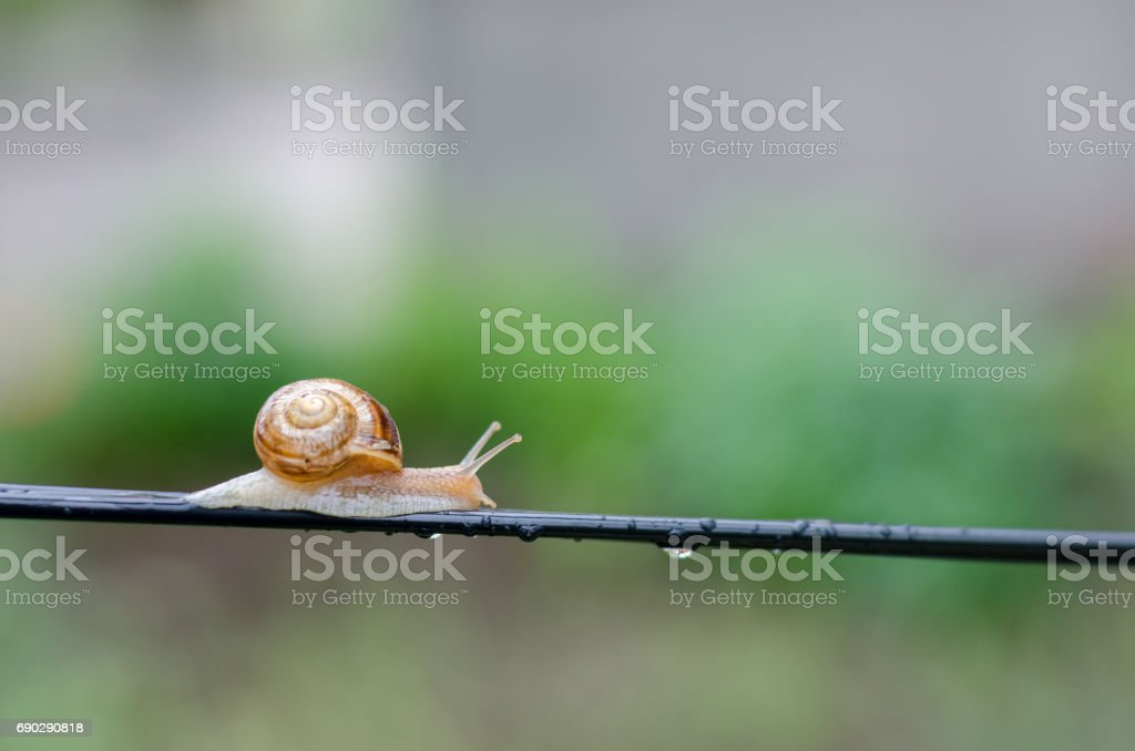 A Snail in the Rain, Snail in the garden on the wire stock photo
