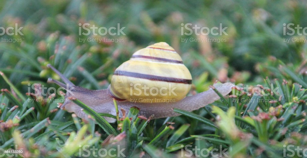 Snail is crawling over a hedge in the Netherlands royalty-free stock photo