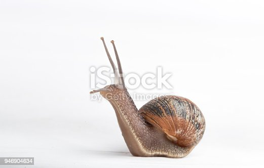 Escargot isolated on a white background front view close up