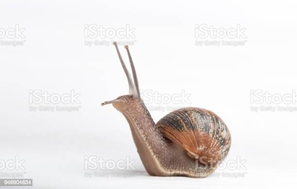 Snail isolated on a white background picture id946904634?b=1&k=6&m=946904634&s=612x612&h=ydzilfgym2grn9xkqqafgeincboqadcvxz 8lrmqalk=