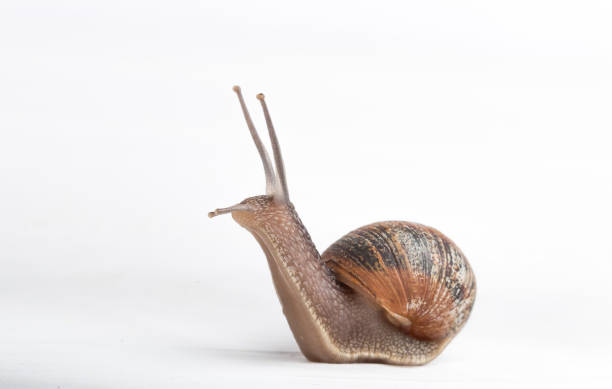 Snail isolated on a white background Escargot isolated on a white background front view close up helix stock pictures, royalty-free photos & images