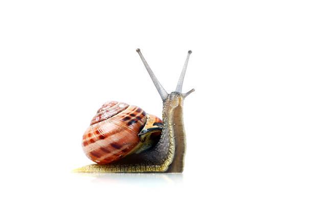 ślimak, na białym tle - ślimak gastropoda zdjęcia i obrazy z banku zdjęć