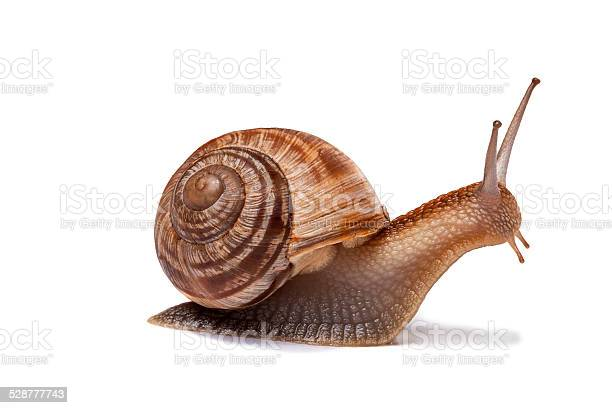 Snail isolated on white picture id528777743?b=1&k=6&m=528777743&s=612x612&h=l7sp7stienslx9svbxaxcirhr9gykxspnwuwcx6prwm=