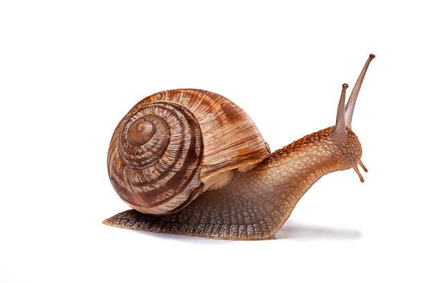 Snail isolated on white stock photo
