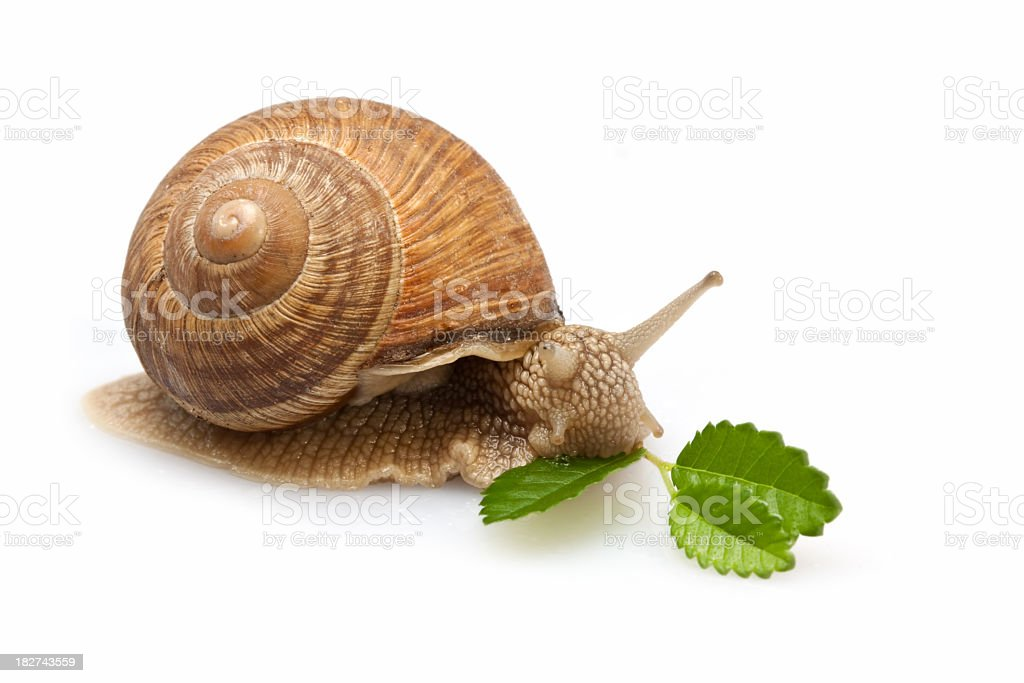 Snail Meal royalty-free stock photo